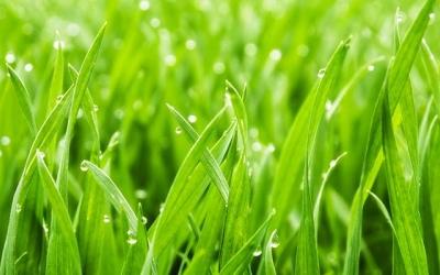 Семена газона Датской компании DLF