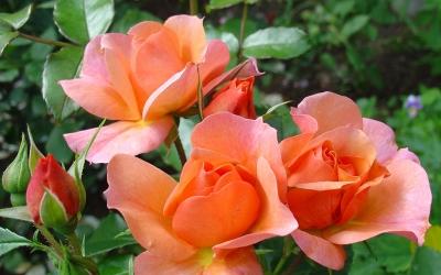Чайно-гибридные Розы (0,8 - 1 м)