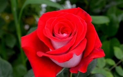 Флорибунда Розы (0,4 - 0,6 м)