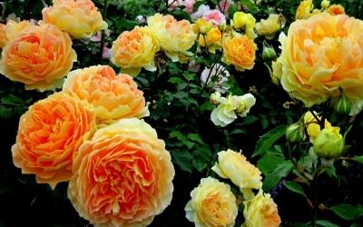 Плетистые Розы (1-3 м)