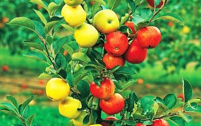 Саженцы плодовых дереьев