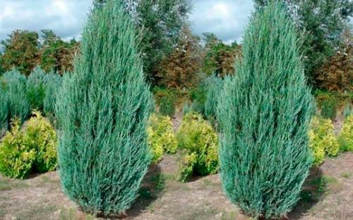 Можжевельник виргинский «Skyrocket» (Juniperus virginiana «Skyrocket»)