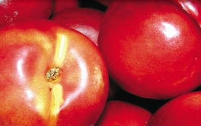 PINUS NUCIPERSICA NANO mini nektarina