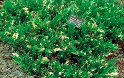 Можжевельник китайский Экспанса Вариегата (Juniperus chinensis Expansa Variegata)
